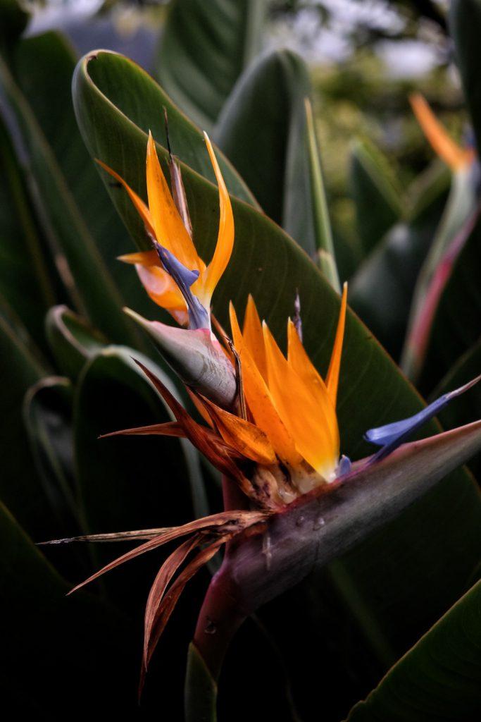 Paradiesvogelblume Madeira