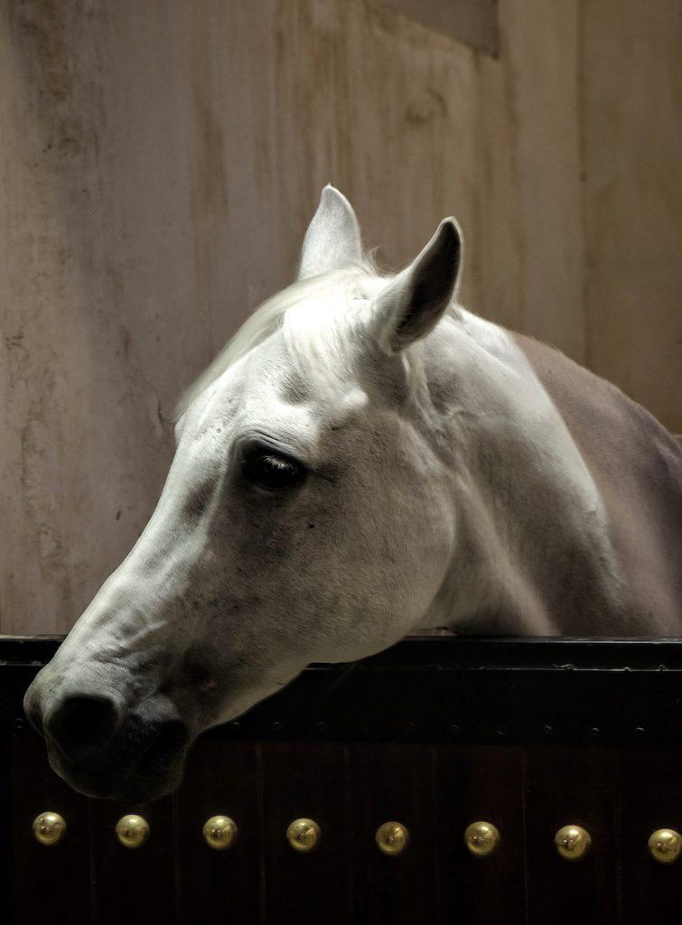 Araber Pferde Qatar